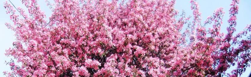 Pommier en fleurs-3